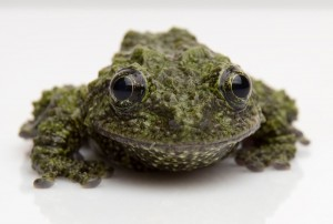 Mossy frog 2