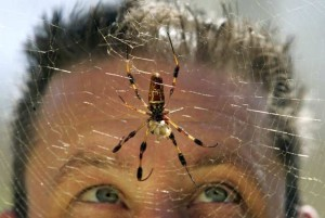 Brent Karner, associate manager of entomological exhibits for the Natural History Museum of Los Angeles County, looks up at an orb weaver spider (Nephila maculata) hanging from its web inside the Spider pavilion at the Natural History Museum in Los Angeles, on September 20, 2007.