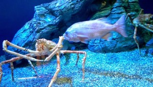 king-crab-aquarium