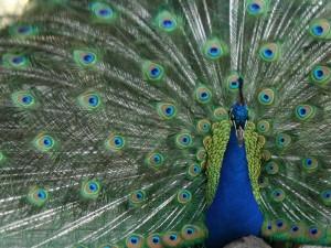 Peacock-photo-by-Roslyn-Dakin